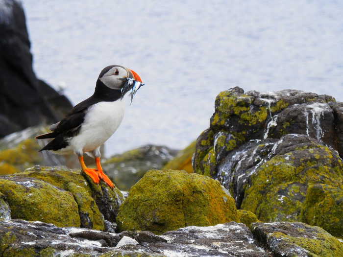 Puffin on rocks with fish in beak
